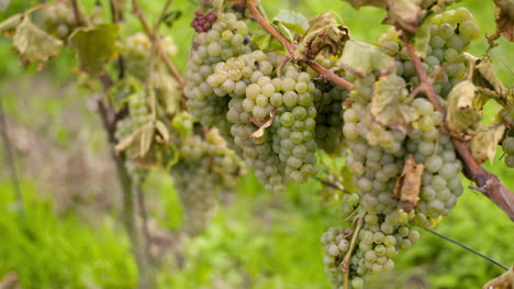 Bunch-Of-Grapes-On-Vineyard-At-Vine-Production-Farm-5