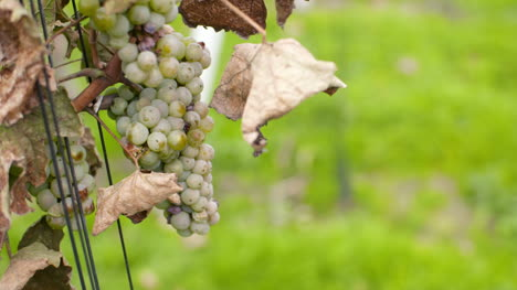 Bunch-Of-Grapes-On-Vineyard-At-Vine-Production-Farm-6