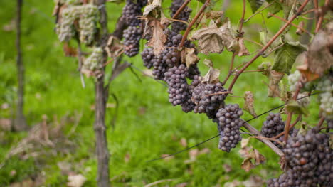 Bunch-Of-Grapes-On-Vineyard-At-Vine-Production-Farm-7