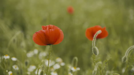 Beautiful-Red-Poppy-Field-Blooming-Poppies-