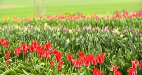 Tulips-Plantation-In-Netherlands-Agriculture-28