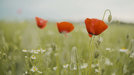 Poppy-Seed-Field-Blooming-Poppies-