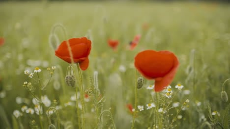 Poppy-Field-Blooming-Poppies-