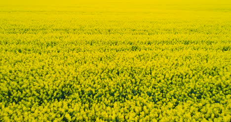 Agriculture-Oilseed-Rape-Field-Aerial-View-Gmo-Background-