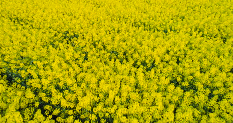 Agriculture-Oilseed-Rape-Field-Drone-View-