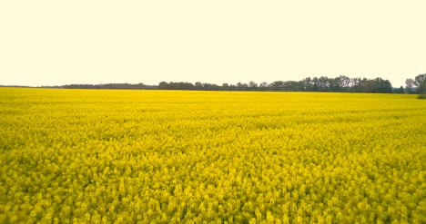 Agriculture-Oilseed-Rape-Field-2