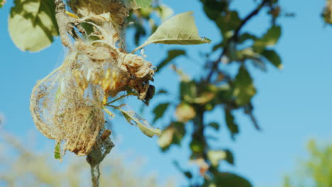 Colony-Of-Caterpillars-On-An-Apple-Tree-Pests-In-The-Garden-Spoil-The-Future-Harvest-4K-Video