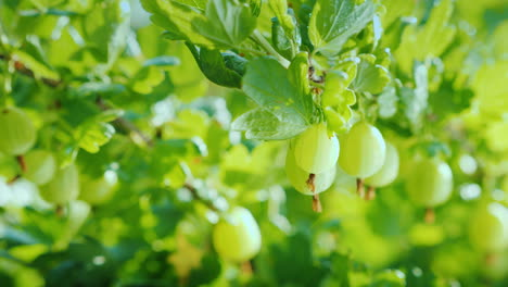 Green-Branch-With-Gooseberry-Berries-Vitamins-And-Fruits-4K-Video