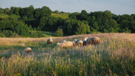 A-Herd-Of-Sheep-Grazing-In-A-Picturesque-Valley-Against-The-Backdrop-Of-A-Forest-Agriculture-And-Eco