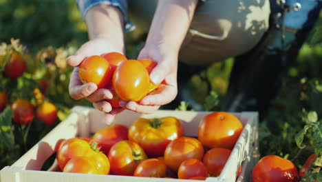 Juicy-Red-Tomatoes-Only-Collected-From-The-Field