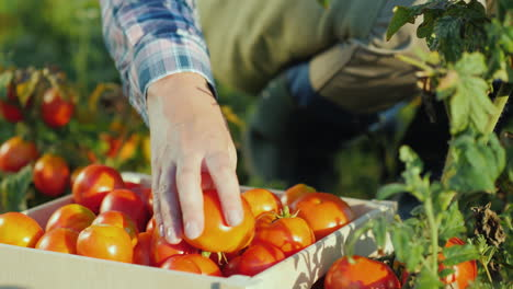 Hands-Worker-Put-A-Tomato-In-A-Box-Harvesting-In-The-Field-Organic-Products