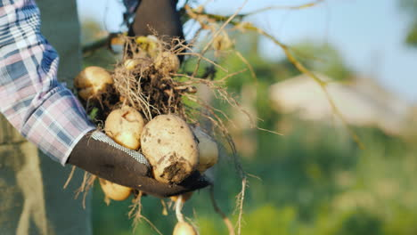 A-Farmer-Holds-A-Large-Bush-Of-Potatoes-Just-Dug-Out-Of-The-Ground