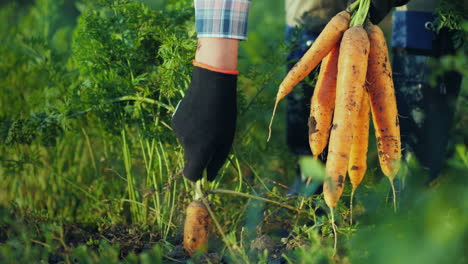 The-Farmer-Pulls-Out-A-Juicy-Carrot-In-The-Garden-Organic-Farm-Products4K-Video