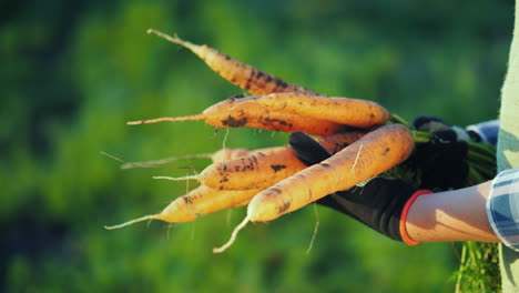 The-Farmer-In-Gloves-Holds-A-Large-Bunch-Of-Carrots-Organic-Farming-Concept-4K-Video