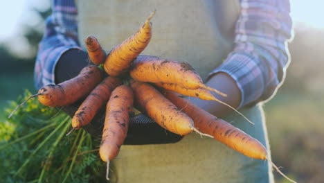 Farmer-s-Hands-With-Juicy-Carrots-Freshly-Dug-In-The-Garden