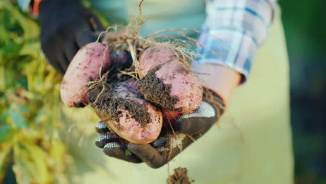 The-Farmer-s-Hands-Hold-Potato-Tubers-Organic-Products-From-The-Field-4K-Video