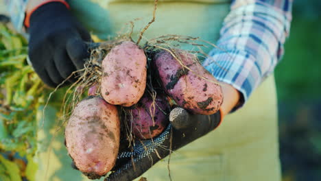 The-Farmer's-Hands-Hold-Potato-Tubers-Organic-Products-From-The-Field-4K-Video