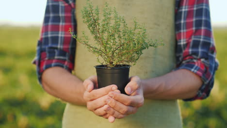 The-Male-Hands-Of-The-Farmer-Hold-A-Pot-Of-Thyme-Plant-Growing-Spices