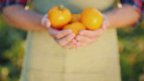 Hands-Of-The-Farmer-Show-In-The-Chamber-A-Few-Juicy-Yellow-Tomatoes