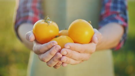 The-Farmer-s-Hands-Hold-Several-Yellow-Tomatoes-Fresh-Vegetables-From-The-Field