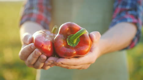 The-Farmer-s-Hands-Hold-Juicy-Bulgarian-Pepper-Fresh-Vegetables-From-The-Field-Concept