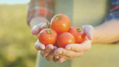 The-Farmer-s-Hands-Hold-Juicy-Red-Tomatoes-Fresh-Vegetables-From-Farming