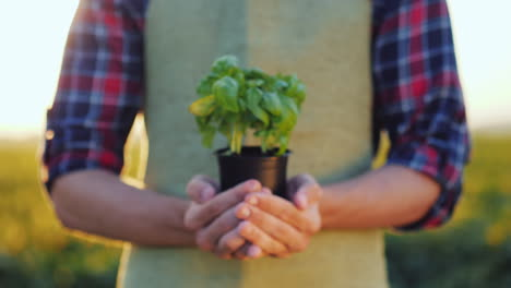 A-Man-Farmer-Is-Holding-A-Pot-Of-A-Basil-Plant-In-His-Hands-Fresh-Spice-Concept