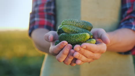 The-Farmer-Is-Holding-Several-Fresh-Cucumbers-Hands-Of-The-Farmer-With-Fresh-Vegetables