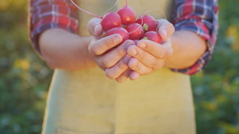 The-Farmer-Is-Holding-A-Handful-Of-Radish-Fresh-Organic-Vegetables-From-The-Farm