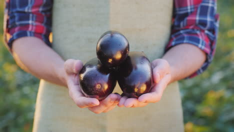 The-Farmer-Keeps-A-Few-Ripe-Eggplants-In-His-Friends-Organic-Products-From-The-Farm
