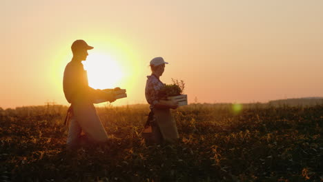 A-Pair-Of-Farms-Carries-Boxes-With-Vegetables-And-Greens-Along-The-Field-Fresh-Organic-Vegetables-Fr