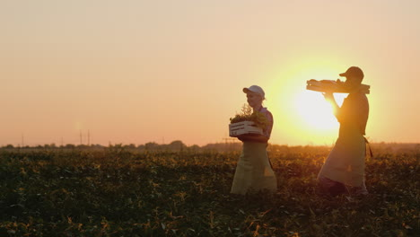 Man-And-Woman-Farmers-Together-Carry-A-Corn-Crop-In-A-Wooden-Box-At-Sunset-Steadicam-Slow-Motion-Vid