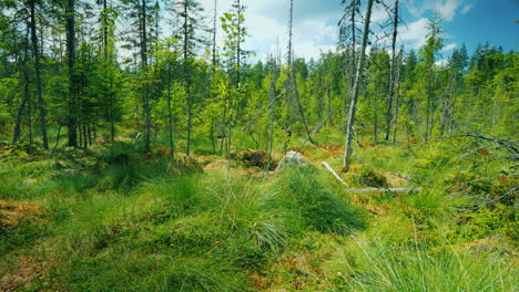View-From-The-First-Person-On-A-Picturesque-Swamp-Among-Moss-Marsh-And-Dried-Trees-Pov-Video