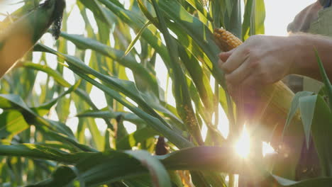 The-Farmer-s-Hands-Study-The-Heads-Of-Corn-The-Sun-Shines-Through-The-Leaves-4K-Video