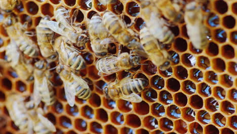 The-Bees-Work-At-The-Hive-On-The-Honeycomb-Cells-Are-Not-Closed-You-Can-See-Fresh-Honey-4K-Video