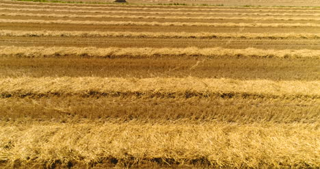 Combine-Harvester-Gathers-Agricultural-Field-1