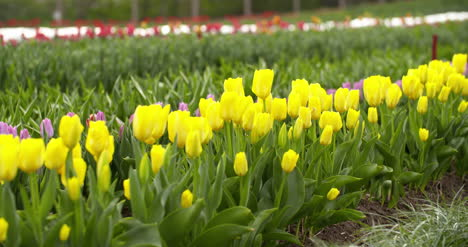 Tulips-Plantation-In-Netherlands-Agriculture-24