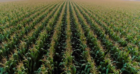 Agriculture-Aerial-Shot-Of-Corn-Field-1