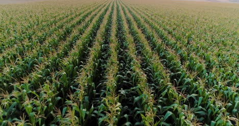 Agriculture-Aerial-Shot-Of-Corn-Field-2