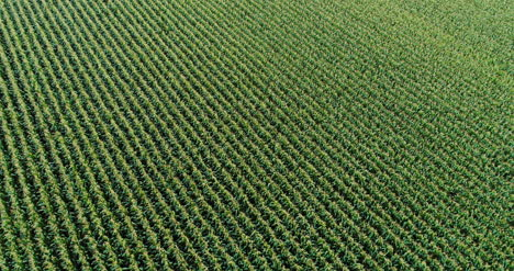 Agriculture-Aerial-Shot-Of-Corn-Field-4