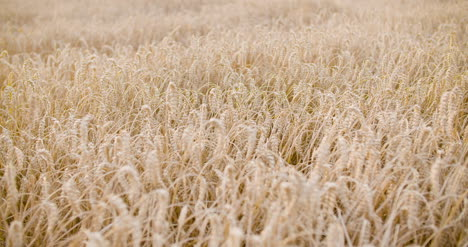 Panning-Shot-Of-Wheat-Field-Close-Up