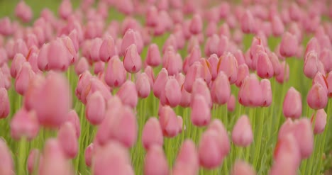 Beautiful-Red-Tulips-Blooming-On-Field-12