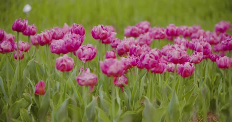 Beautiful-Red-Tulips-Blooming-On-Field-23