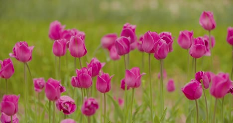 Beautiful-Red-Tulips-Blooming-On-Field-3