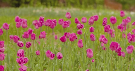 Beautiful-Red-Tulips-Blooming-On-Field-8
