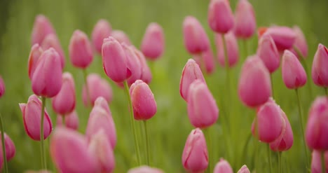 Beautiful-Red-Tulips-Blooming-On-Field-14