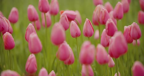Beautiful-Red-Tulips-Blooming-On-Field-15