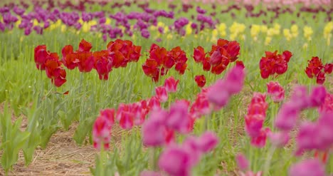 Beautiful-Red-Tulips-Blooming-On-Field-18