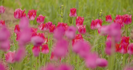 Beautiful-Red-Tulips-Blooming-On-Field-21