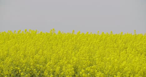 Close-Up-View-Of-Yellow-Colza-Field-And-Canola-Rape-Field-4